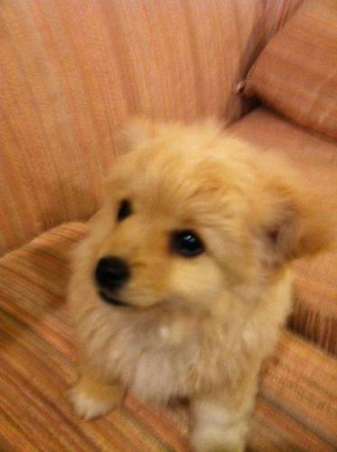 - Beautiful Pom- Chi Puppies - Healthy and Happy -