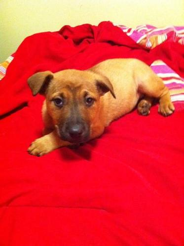 **** GREAT FEMALE BOXER X PUPPY *** 1ST SHOTS D-WORMED VET CHECK
