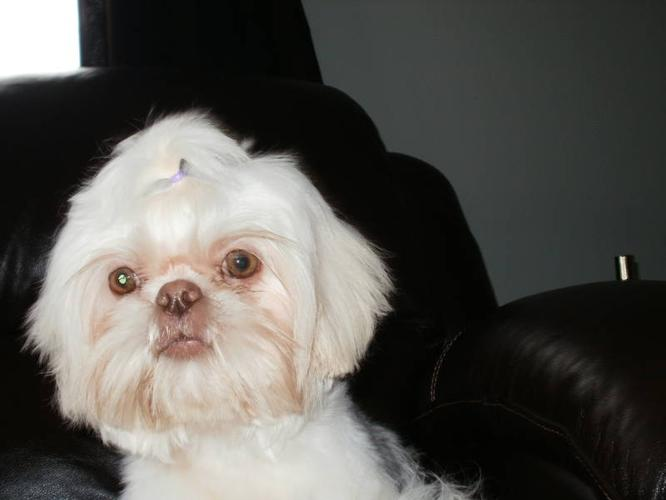 Imperial Shih Tzu Rare Colors 4 9lbs For Sale In Dresden