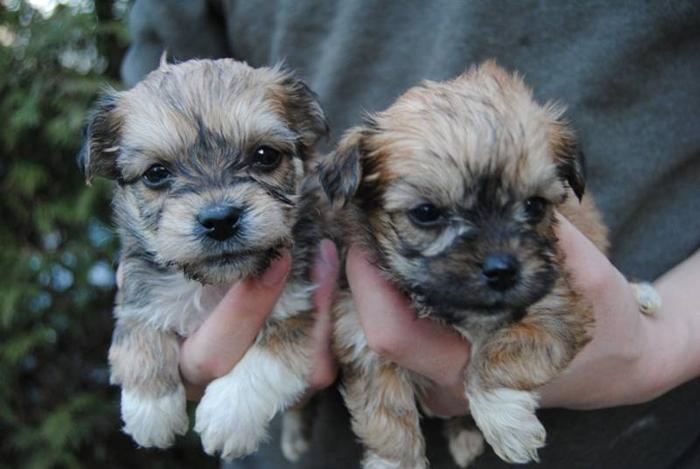 TEACUP MORKIE PUPS 2 BOYS 2 GIRLS READY NOW*** for sale in