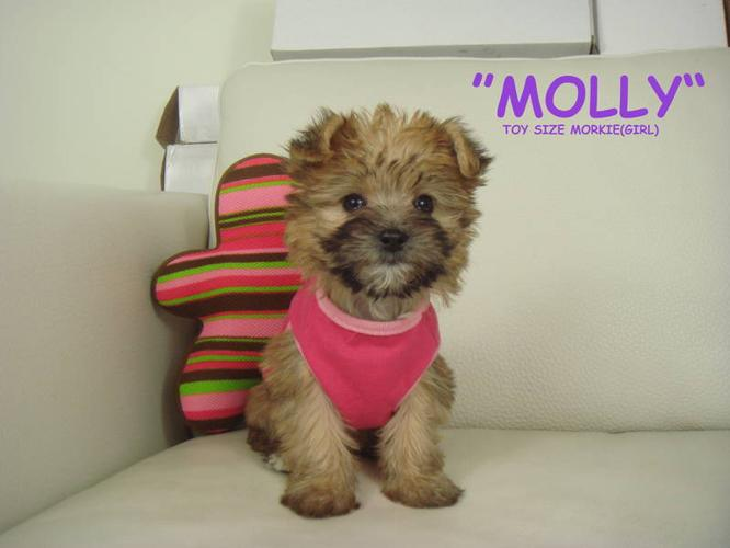 ?? TOY SIZE MORKIE ?? 1 girl left! - NON SHEDDING/HYPOALLERGENIC