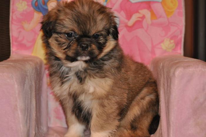 1 Shih Tzu X Pekingese Peke A Tzu Puppy 10 Weeks Old For Sale In