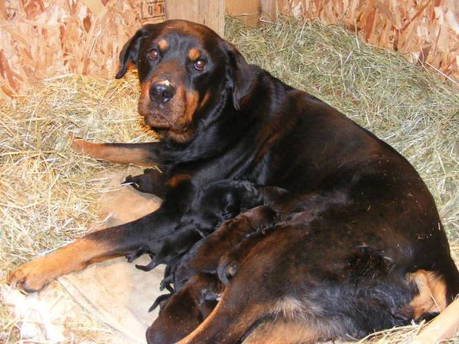 11 Rottweiler Crossed With Bernese Mountain Dog X Black Lab Pupp For