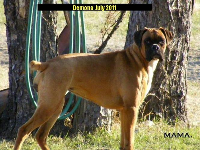 2 Boxer Females-No REASONABLE Offer Refused