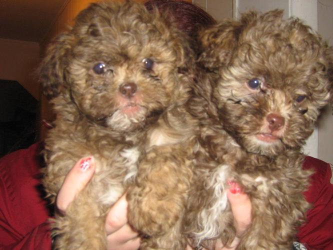 2 Cute fun loving Shih tzu Poodles