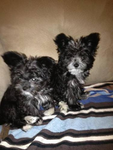 2 Cute Male Morkies (Yorkie/Maltese)