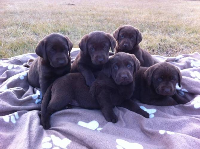 2 Gorgeous Pure Chocolate Lab Puppies