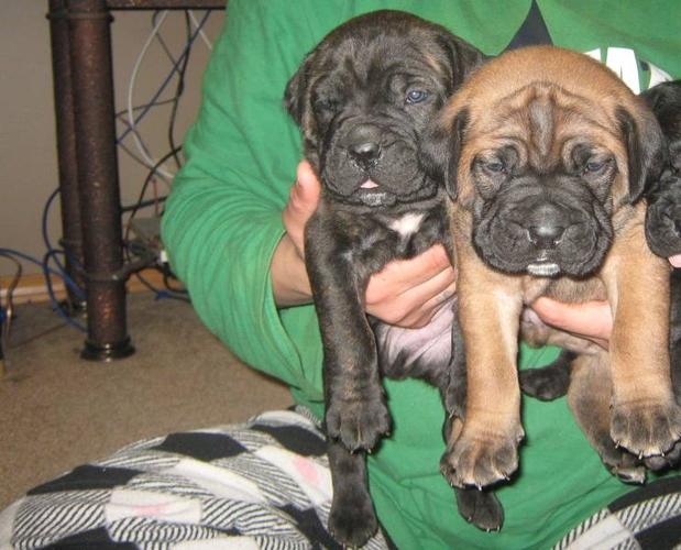 2 Male Mastiff puppies ready to go! *** Price Reduced ***