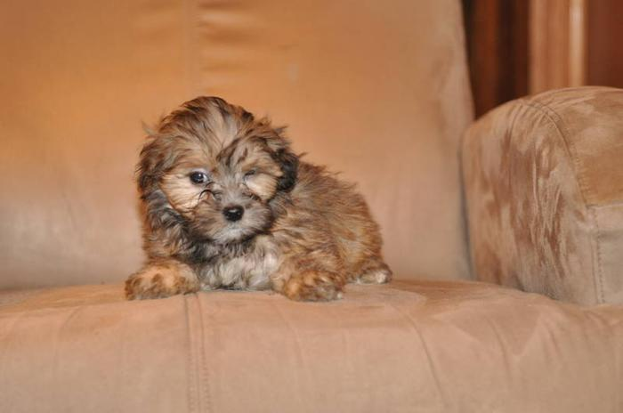2 MALTESE X SHIH TZU PUPPIES LEFT 9 WEEKS OLD
