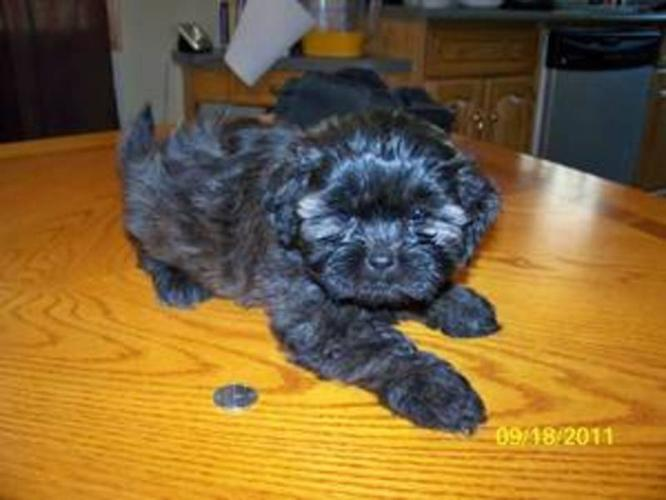 2 of 6 Puppies Poodle Shih tzu Cross for sale