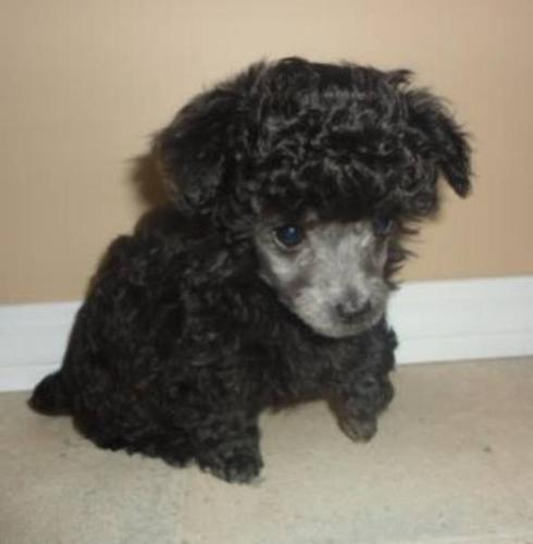 2 Silver Female Teacup Size Toy Poodles For Sale In Prince