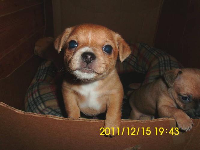3 Chichuahua Puppies