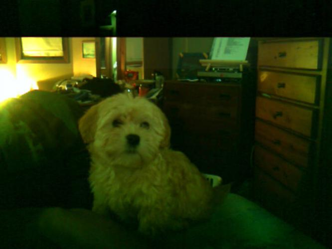 3 CKC Reg. Havanese Puppies Champian line Females $800.