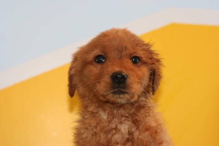 3 Cross Golden Retriever/Lab Puppies