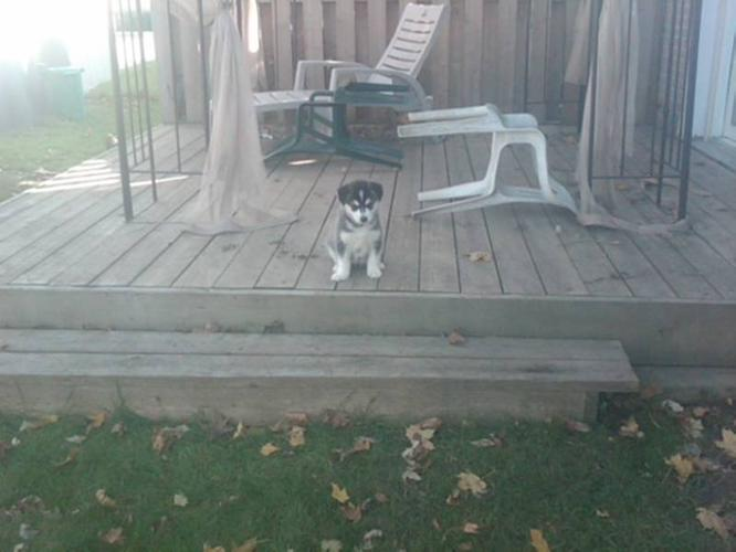 3 Female Husky-Malamute Puppies for Sale