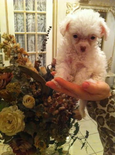 [3 LEFT!!] TEACUP Poodle/Chiuahuas! Only 2LBS Fully grown!