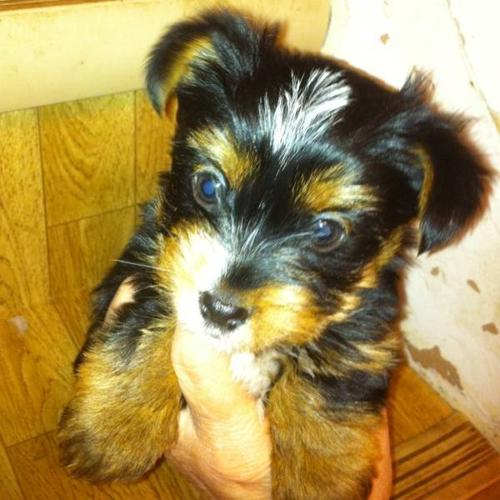 34 Yorkie Puppy For Sale In Ardrossan Alberta Nice Pets