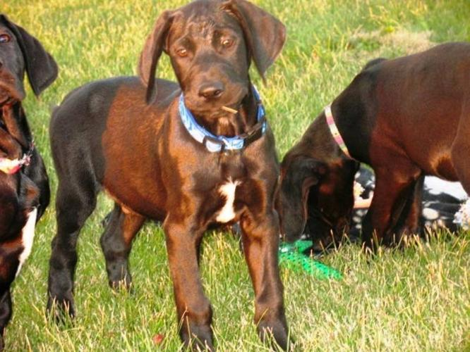 4 male Lab / great dane pups available!