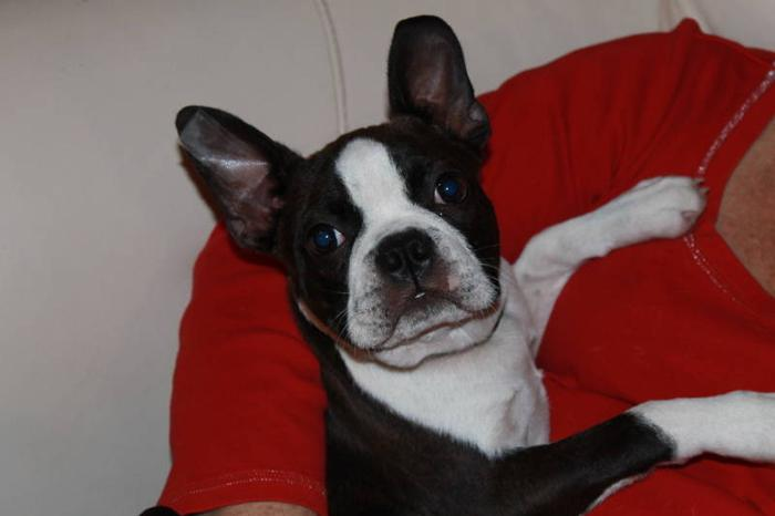 4 month olf Boston Terrier Male