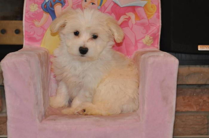 5 Bichon X Maltese Puppies 10 Weeks Old For Sale In Mississauga