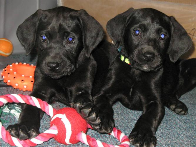 5 great dane / Lab pups ready to go!