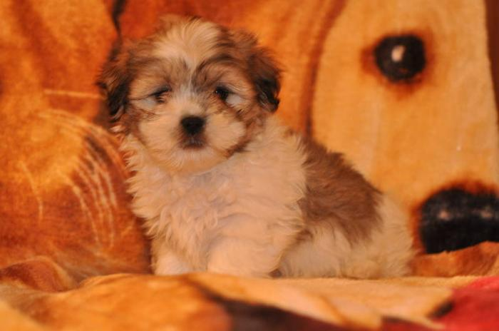 5 SHIH TZU X MALTESE PUPPIES 9 WEEKS OLD