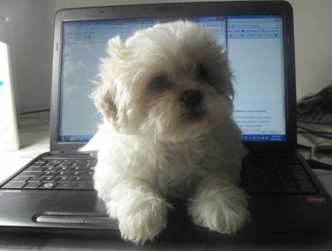 8 weeks old shichon (ShihTzu-Bichon,teddybear) puppies for sale for