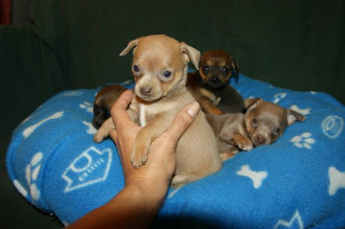 Absolutely Gorgeous Chihuahua Puppies