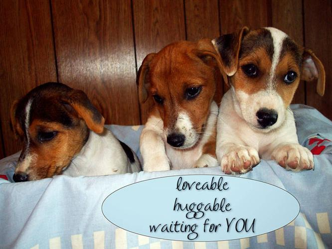 Adorable JACK RUSSELL TERRIER puppies FOR SALE!