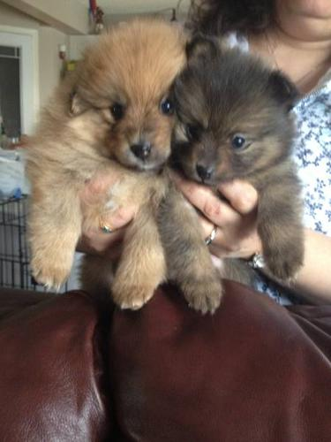 Adorable Purebred Pomerainian Puppy One Left for Sale