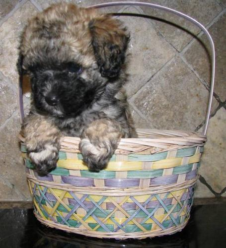 Adorable Tiny Toy Poodle Puppies For Sale In Aurora Ontario