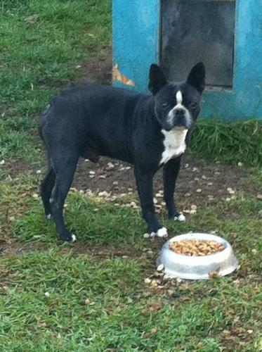 Adult boston sale terrier