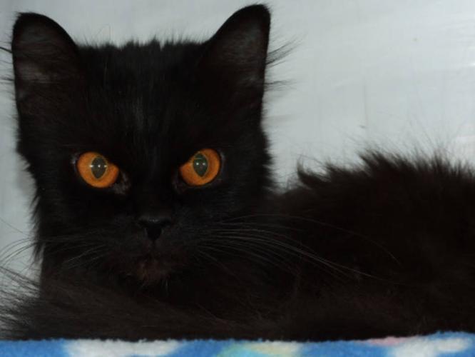 Adult Female Cat - Domestic Long Hair-black Persian: