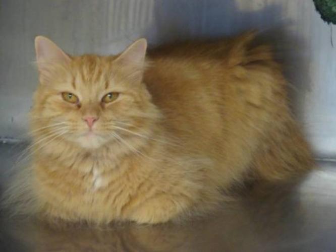 Adult Female Cat - Domestic Long Hair - orange: