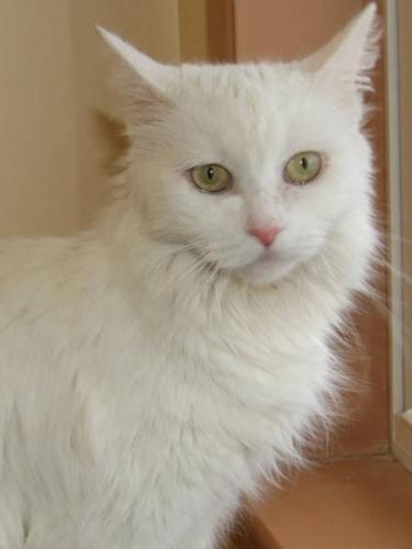 Adult Female Cat - Domestic Long Hair-white: