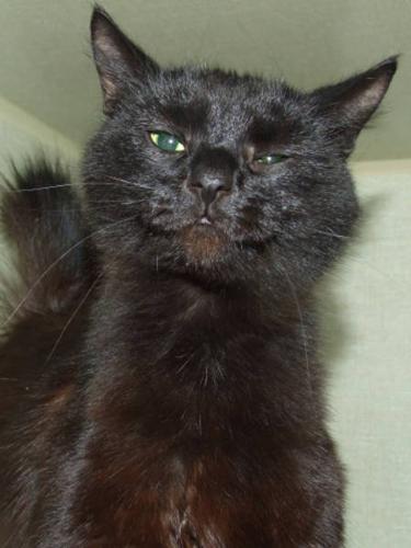 Adult Female Cat - Domestic Medium Hair-black: