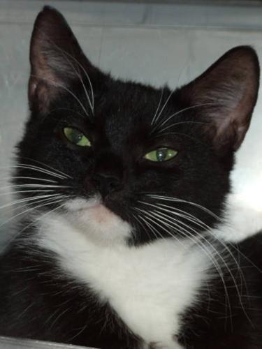 Adult Female Cat - Domestic Short Hair-black and white
