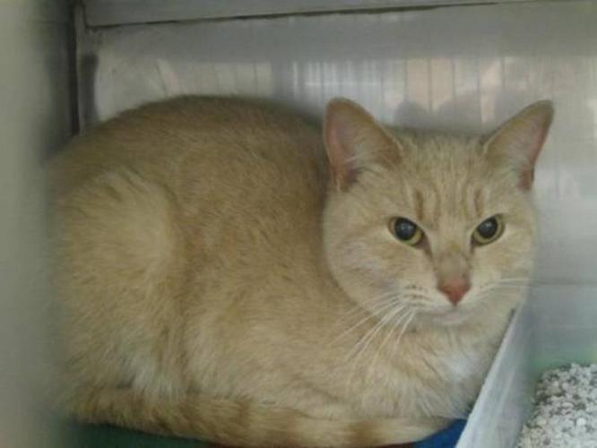 Adult Female Cat - Domestic Short Hair: