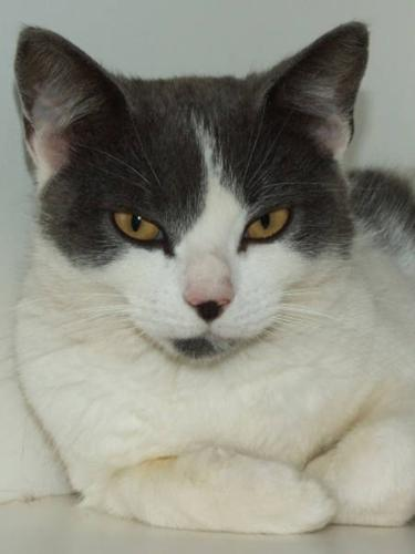 Adult Female Cat - Domestic Short Hair - gray and white