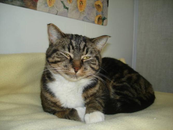 Adult Female Cat - Tabby - black:
