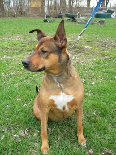 Adult Female Dog - Doberman Pinscher Shepherd:
