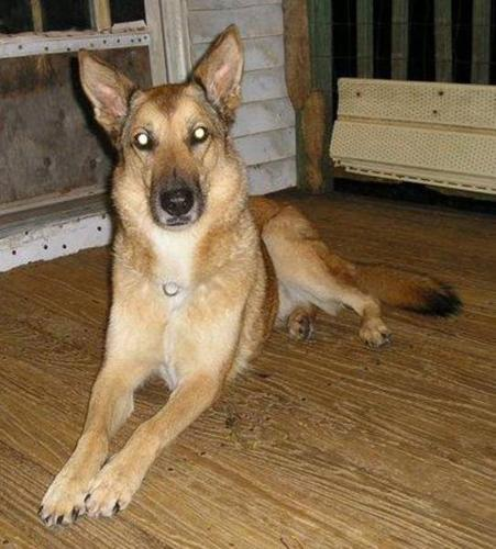 Adult Female Dog - German Shepherd Dog Husky: