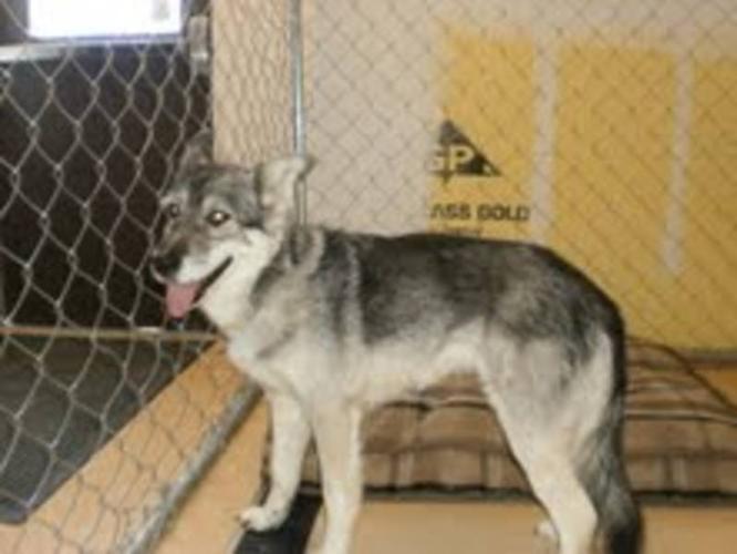 Adult Female Dog - Husky: