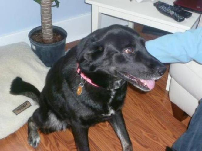 Adult Female Dog - Labrador Retriever Shepherd:
