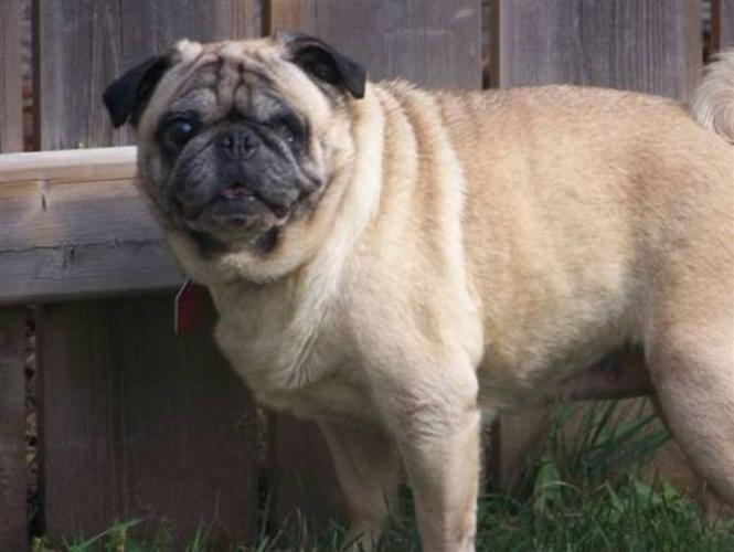 Adult Female Dog - Pug