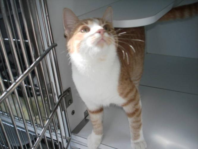 Adult Male Cat - Domestic Short Hair - orange and white: