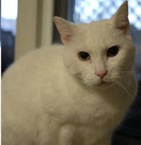 Adult Male Cat - Domestic Short Hair-white: