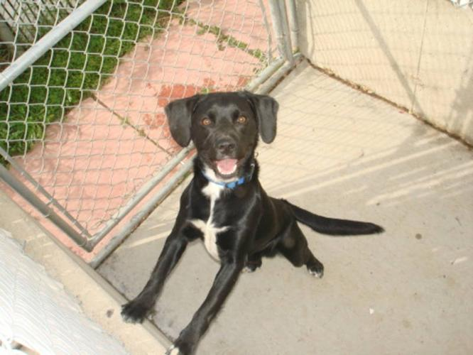 Adult Male Dog - Beagle Labrador Retriever:
