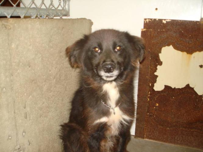 Adult Male Dog - Border Collie:
