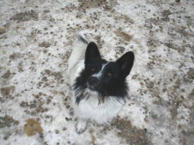 Adult Male Dog - Corgi Terrier: